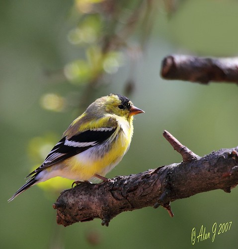 Goldfinch | by alanj2007