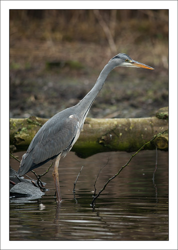 Grey Heron | by Mister Oy