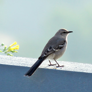 Northern Mockingbird | by Geninne