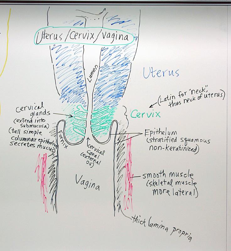 Female Reproductive System Uterus Cervix Vagina Flickr