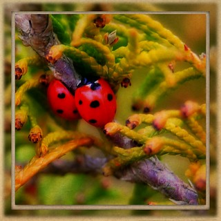 Two ladybirds in a conifer | by *Psyche Delia*