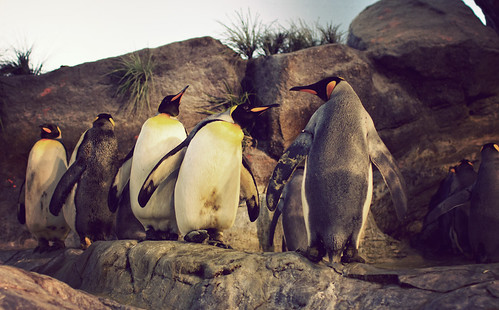 King Penguins | by Lopiccolo