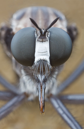 Giant robber fly with blue wings IMG_2748 copy | by Kurt (OrionHerpAdventure.com)