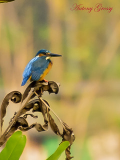 King Fisher (Alcedo Atthis) Male | by AntoGros