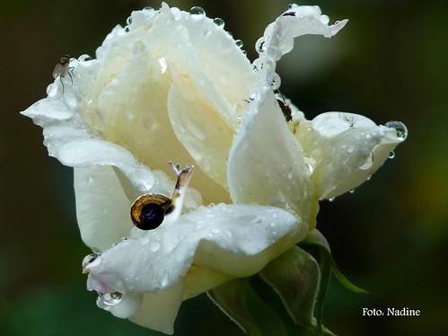 Rainy day for roses and little creatures | by Nadine V.