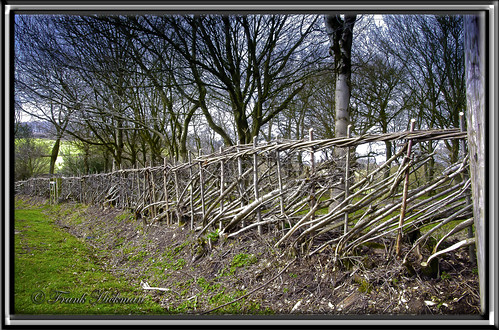 hedge laying | by FRANK1035