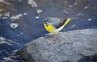 Grey Wagtail | by Alistair Prentice.