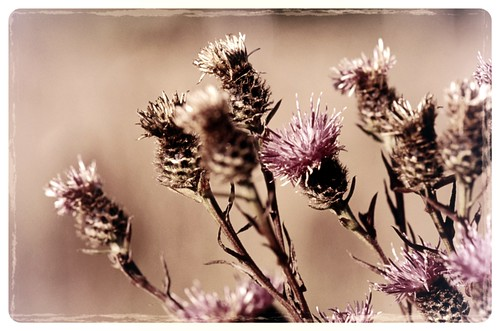 Thistles - processed | by The Ewan