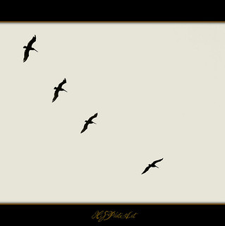 FLIGHT OF THE PELICANS | by HiS***PhotoArt