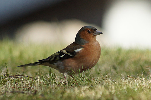 Common Chaffinch ,male, Fringilla coelebs | by manum.net - Photos from Manum Gård