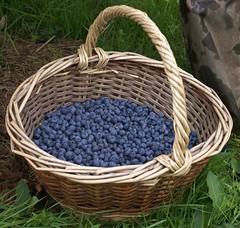 Bluets des Vosges