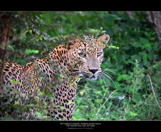 Leopards of Yala | by Tharindu 'T' Wijayasena