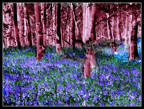 Blue bell wood after Hockney | by philwirks