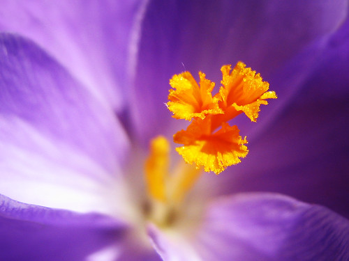 Crocus with golden Heart | by Batikart