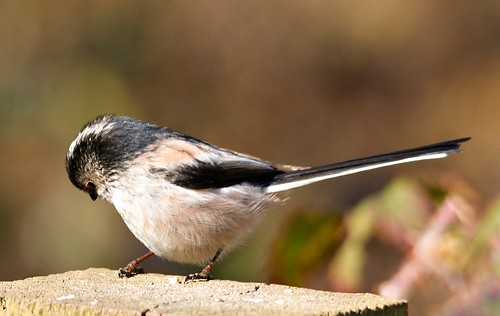 Long Tailed Tit | by kevin-64