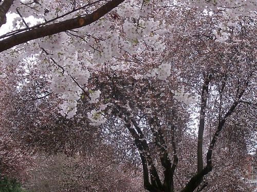 blooming trees | by blu butterfly