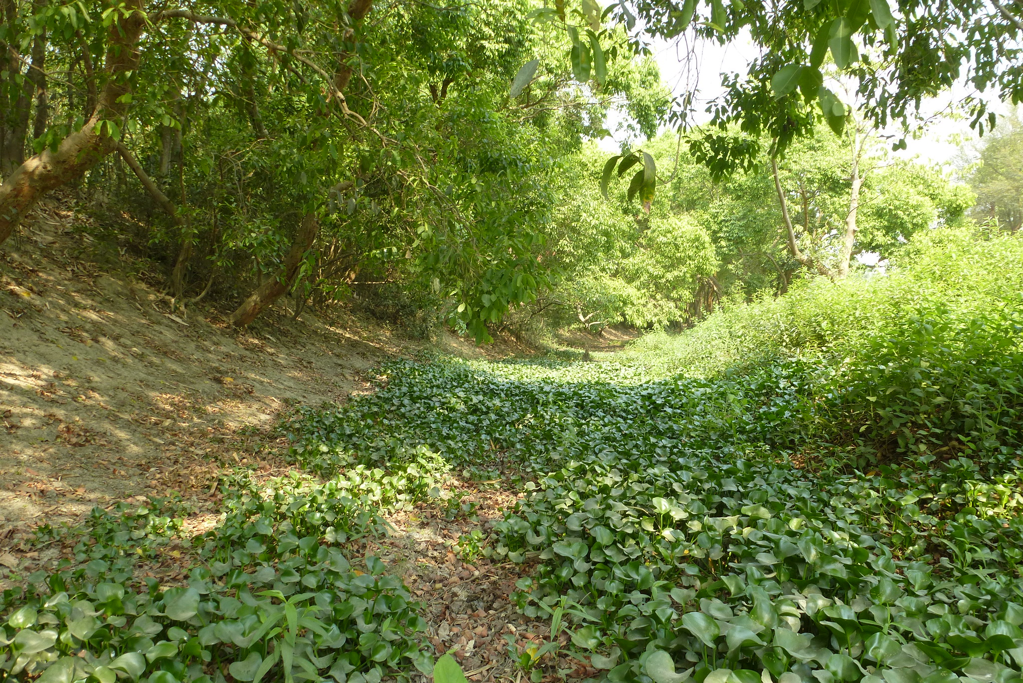 This old stream of Kamla is now dry for most of the year. The water hyacinths indicate the presence  of some moisture in the soil.