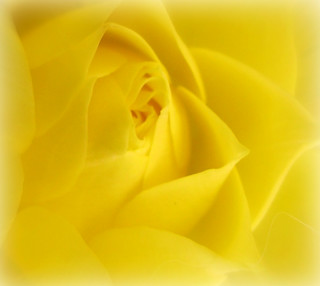 Yellow petals... | by Bob T...