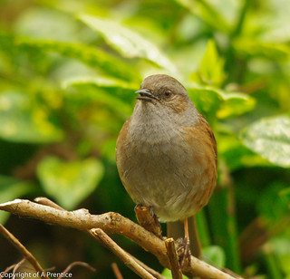 Dunnock | by Alistair Prentice.