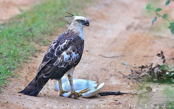 Crested Hawk Eagle With Cattle Egret Kill Crested Hawk Eag Flickr