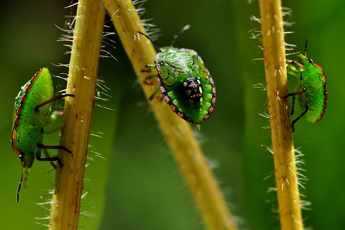 My different angles; my name is Stink bug, Nezara viridula or Shield bug ! | by natureloving