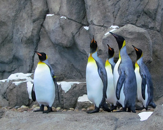 King Penguins | by njchow82