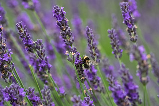 Bee Amongst Lavender | by sagesolar