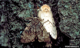European Gypsy Moth 1 | by Hungry Pests