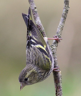Canon EOS 60D.Canon 70-300mm Lens.Tiny Female Siskin Acrobat.March 2nd 2012. | by Blue Melanistic.Twelve Million Views.
