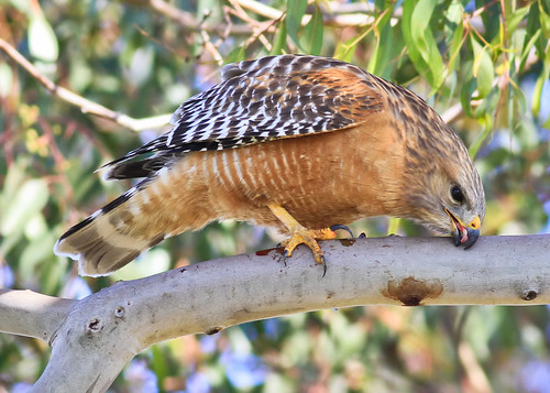 red-shouldered hawk | by hawk person