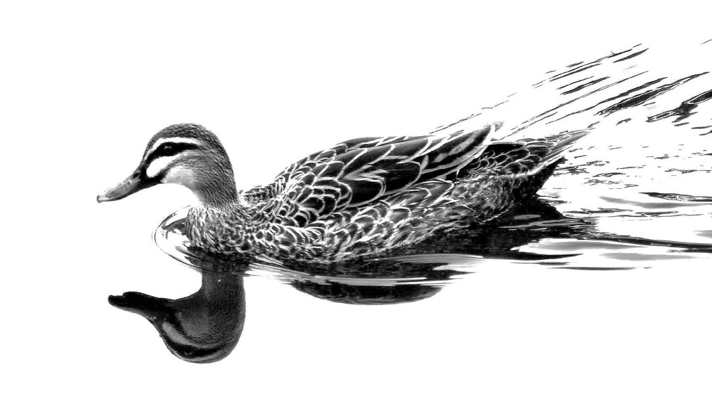 duck art image collections