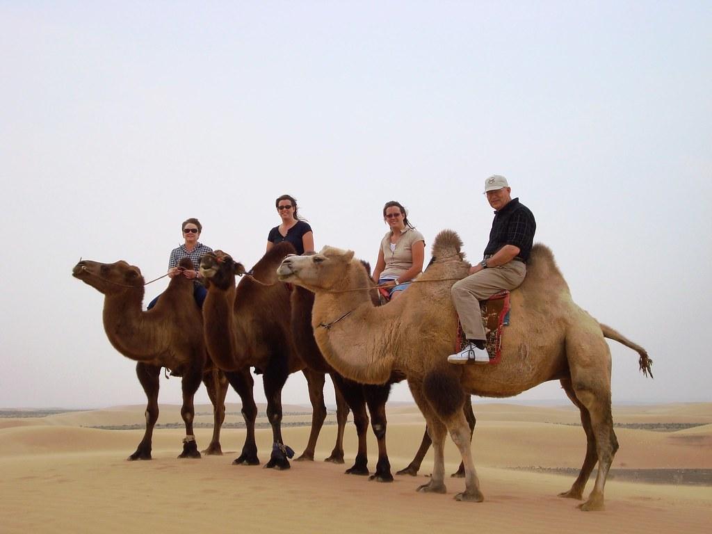 2 Humped Camels In Gobi Desert