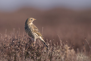 Meadow Pipit (Anthus pratensis) | by Kristian Bell