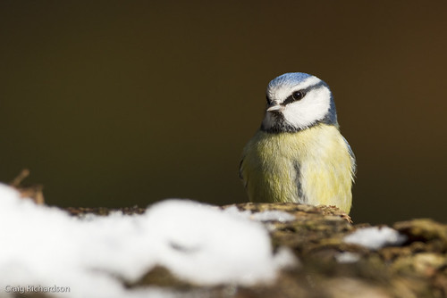 Blue Tit | by Wildlifestudios