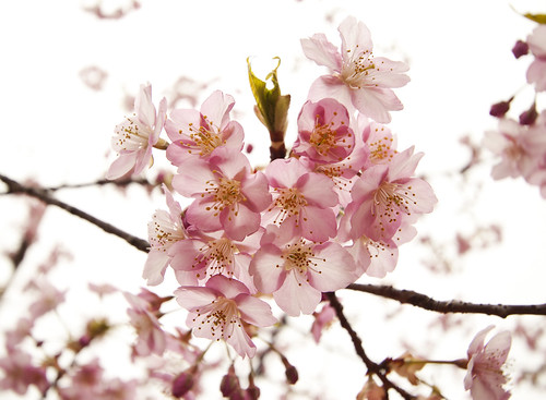 Greeting from sakura ~sakura season will start soon!~ | by * Yumi *
