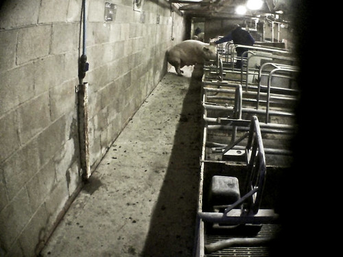 28/12/2011 - Didlington, The Piggery - East Anglian Pig Company | by Animal Equality International