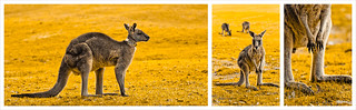Roo Collage | by Fred Sorin