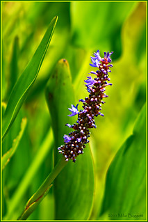 Pickerelweed | by 99baggett