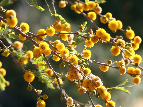 Sunny Morning Acacia Flowers | by cobalt123