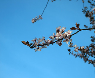 74/365 - Spring Blossom | by pink slippers