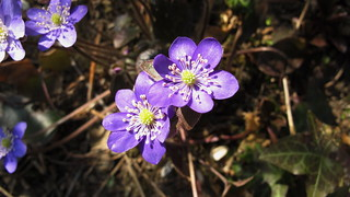 Hepatica nobilis - hépatique - Leberblümchen - anemone hepatica | by ceila♪♫♪