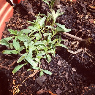 Remember my dead tomato plant? I planted new ones and it's growing!! | by feli*