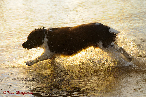 Happiness is a wet Springer! | by Tony Margiocchi (Snapperz)