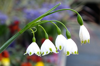 Lily of the Valley | by Paul F Gannon