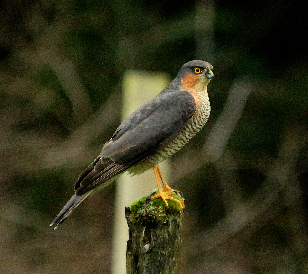 Canon EOS 60D.Canon 70-300mm Lens.Male Sparrow Hawk On My … | Flickr