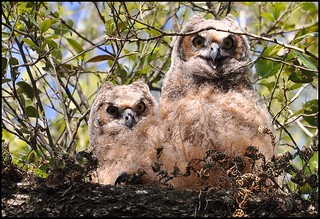 Baby Great Horned Owls | by Photos by Lynne