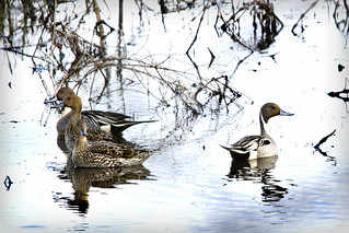 Pintails In The Marsh | by steeladw