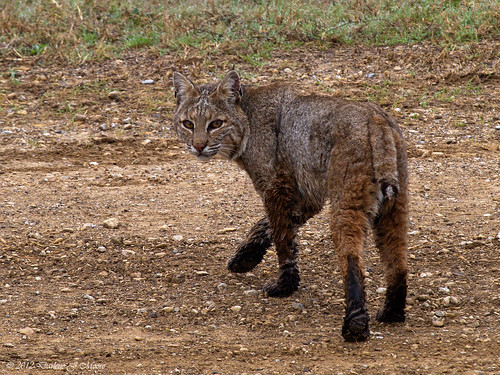 Bobcat | by djmoore1657