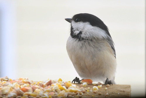Black Capped Chickadee - 02-23-12 | by Jason Lorette