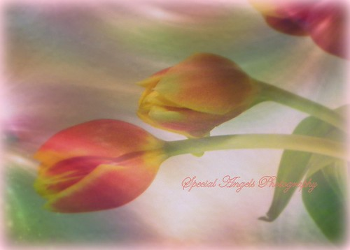My Textured Tulips  Happy Spring Time | by Tumbleweed Photography~Carol~
